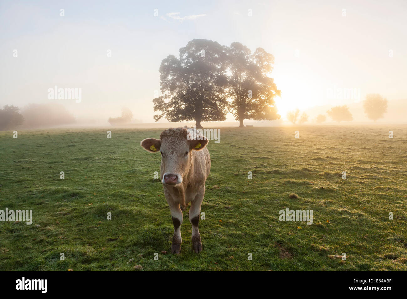 Mucca in campo, sunrise, Usk Valley, South Wales, Regno Unito Immagini Stock