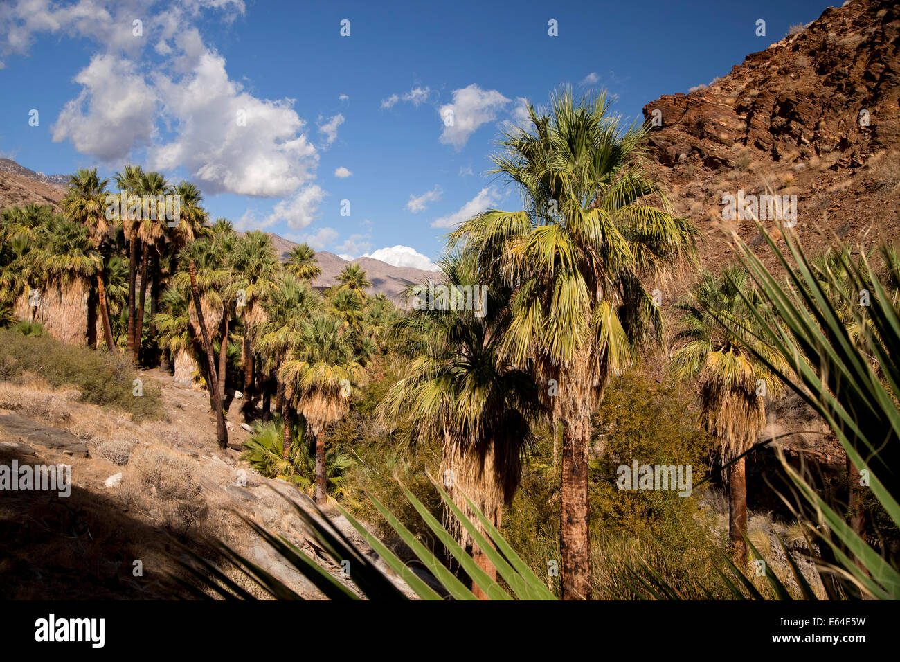 Ventola della California palme a Palm Canyon, Palm Springs, California, Stati Uniti d'America, STATI UNITI D'AMERICA Immagini Stock