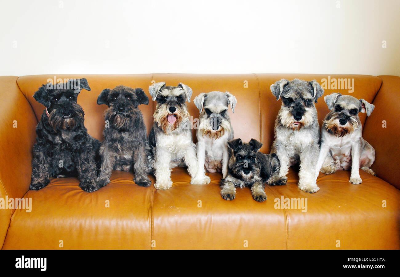 Famiglia di miniatura schnauzer cani seduto su un divano, Bexleyheath, Regno Unito Immagini Stock