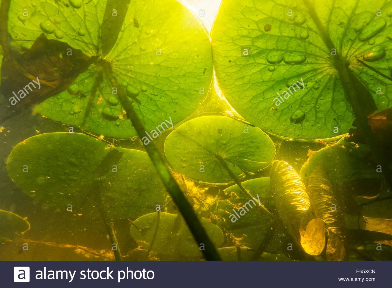 Profumati gigli d'acqua (Nymphaea odorata) crescono dal fondo di un lago in questa vista subacquea da Seattle, Immagini Stock