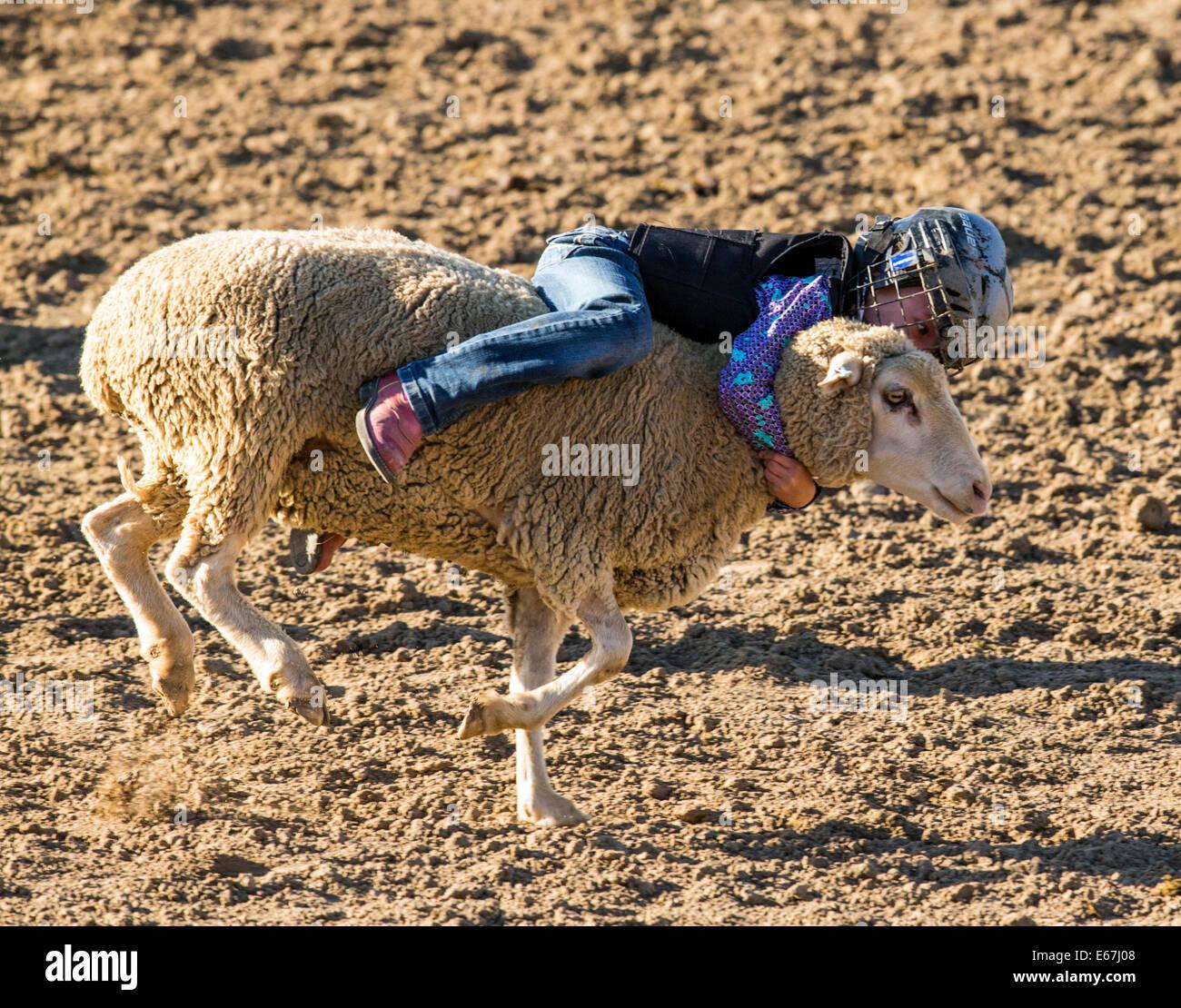 Bambino in sella a una pecora in montone spezzando la concorrenza evento, Chaffee County Fair & Rodeo Immagini Stock