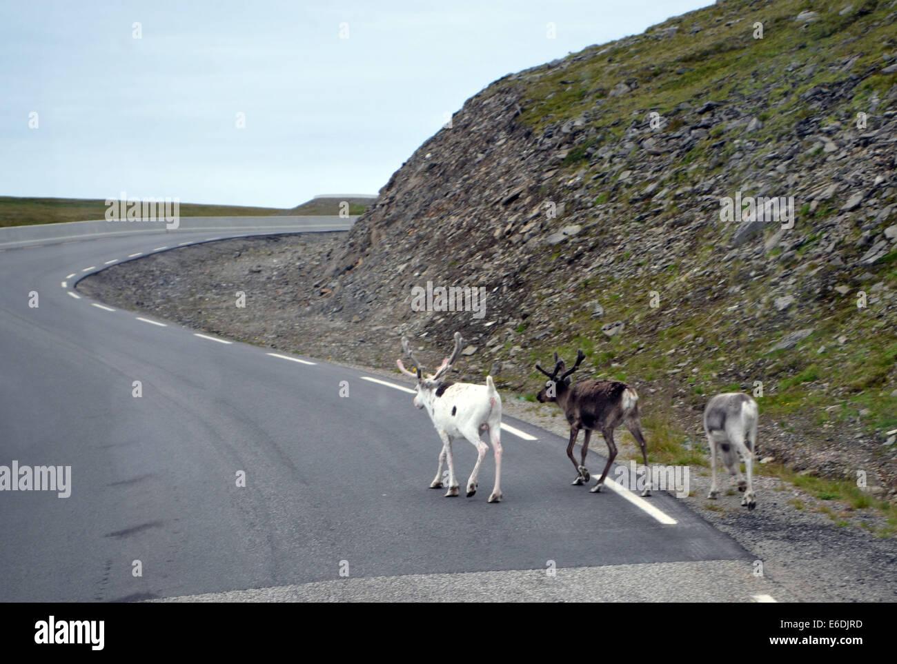 Cervi sono il solo ad essere visto sulla strada a Nord Kapp (polo nord). Spesso il roaming selvaggiamente, unaccountably, Immagini Stock