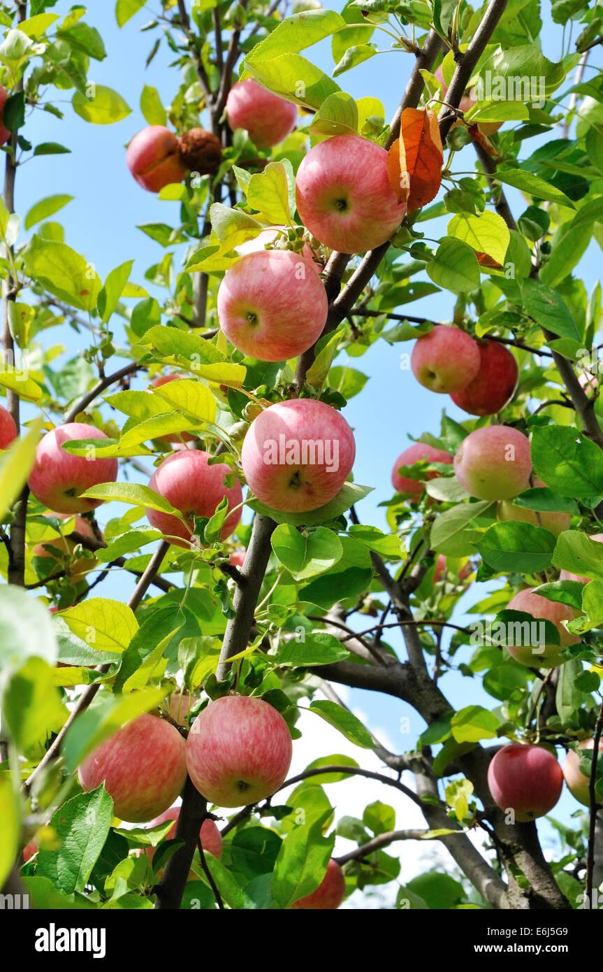 Il ramo di melo con grandi frutti rossi Immagini Stock