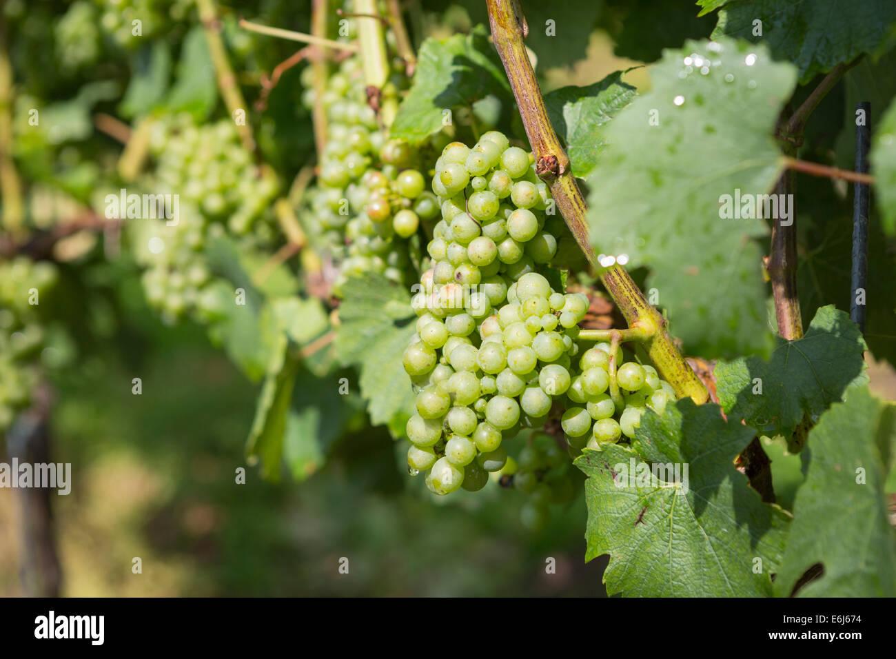Fila di uve in vigna olandese nella provincia Noord-Limburg nel sud dei Paesi Bassi Immagini Stock