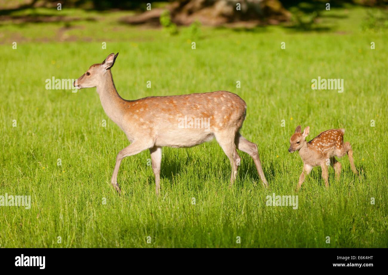Sika cervo (Cervus nippon), hind con giovani, captive, Baviera, Germania Immagini Stock