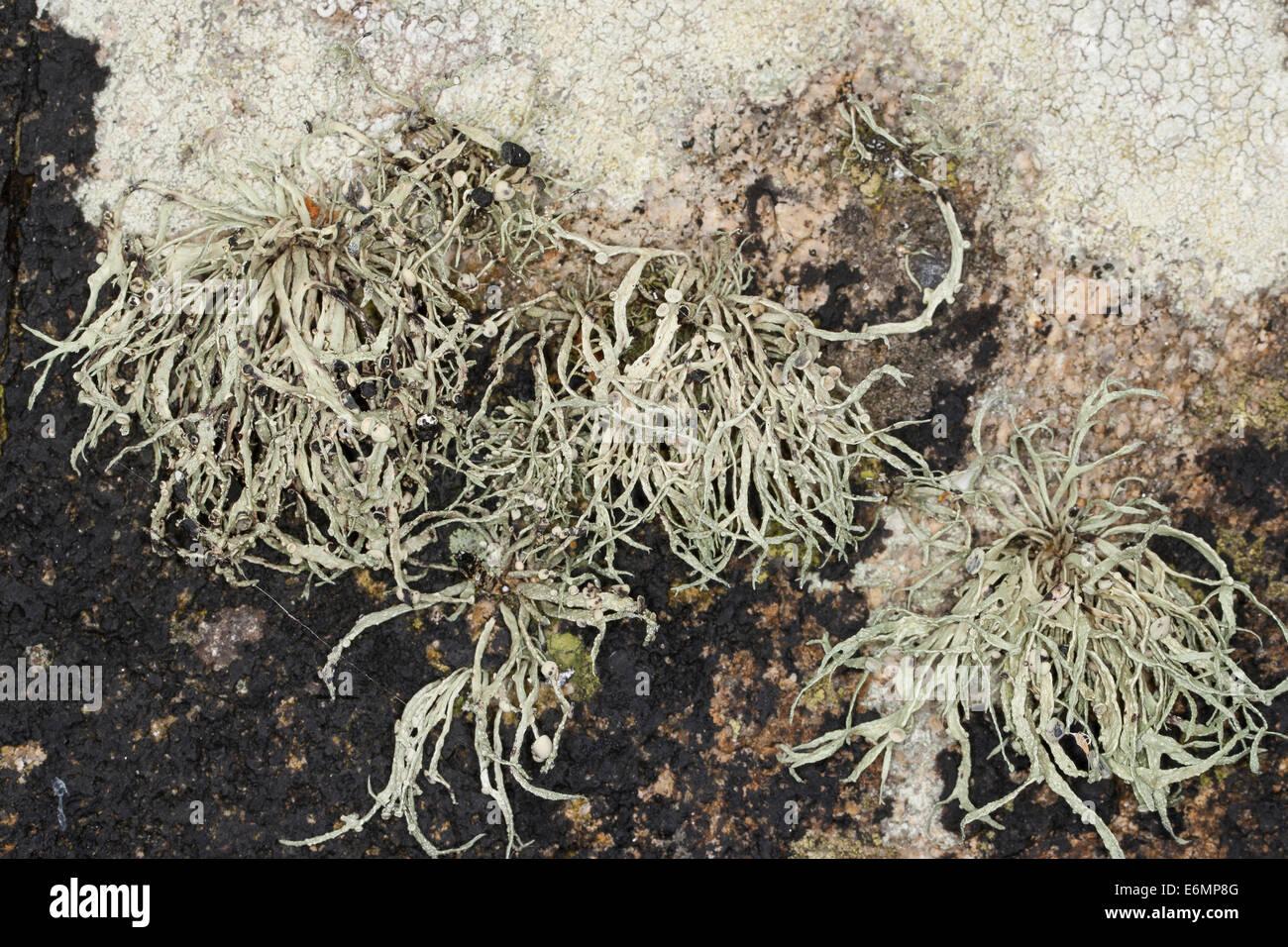 Mare Lichene d avorio sulle rocce e pareti di pietra su coastland, Grüngraue Astflechte, Strauchflechte, Küstenfelsen, Immagini Stock