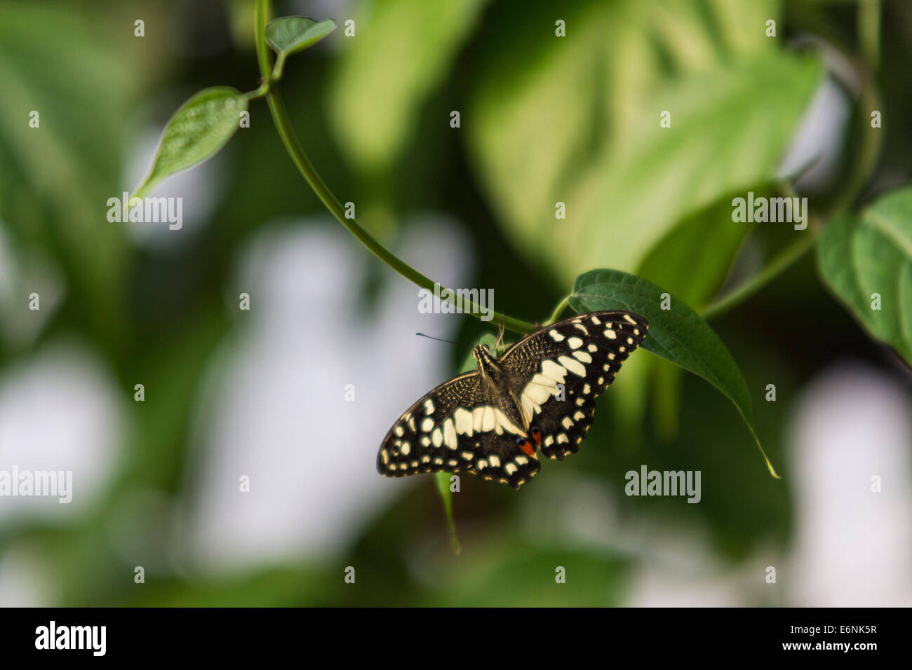 Un comune calce Butterfly (Papilio demoleus), nel paradiso a farfalla enclosure presso lo Zoo di Londra Immagini Stock
