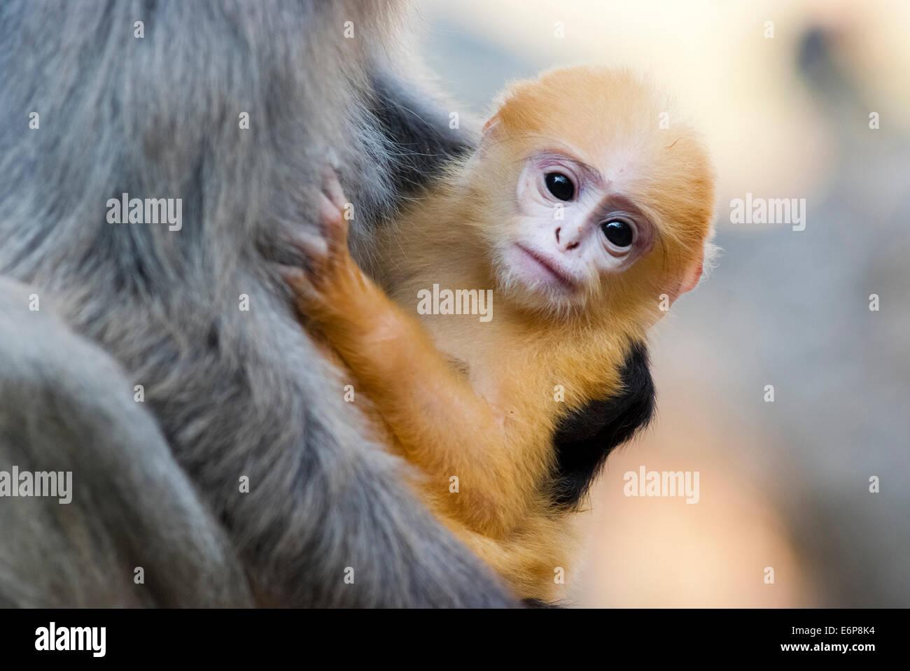 Una madre Dusky Leaf monkey e il suo bambino di colore giallo Immagini Stock