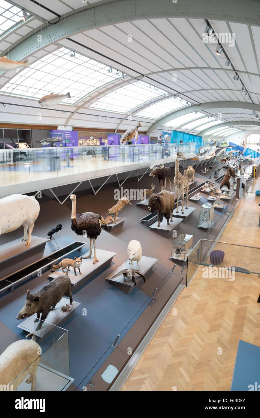 Animali imbalsamati nel Museo di Scienze Naturali di Bruxelles, Belgio Immagini Stock