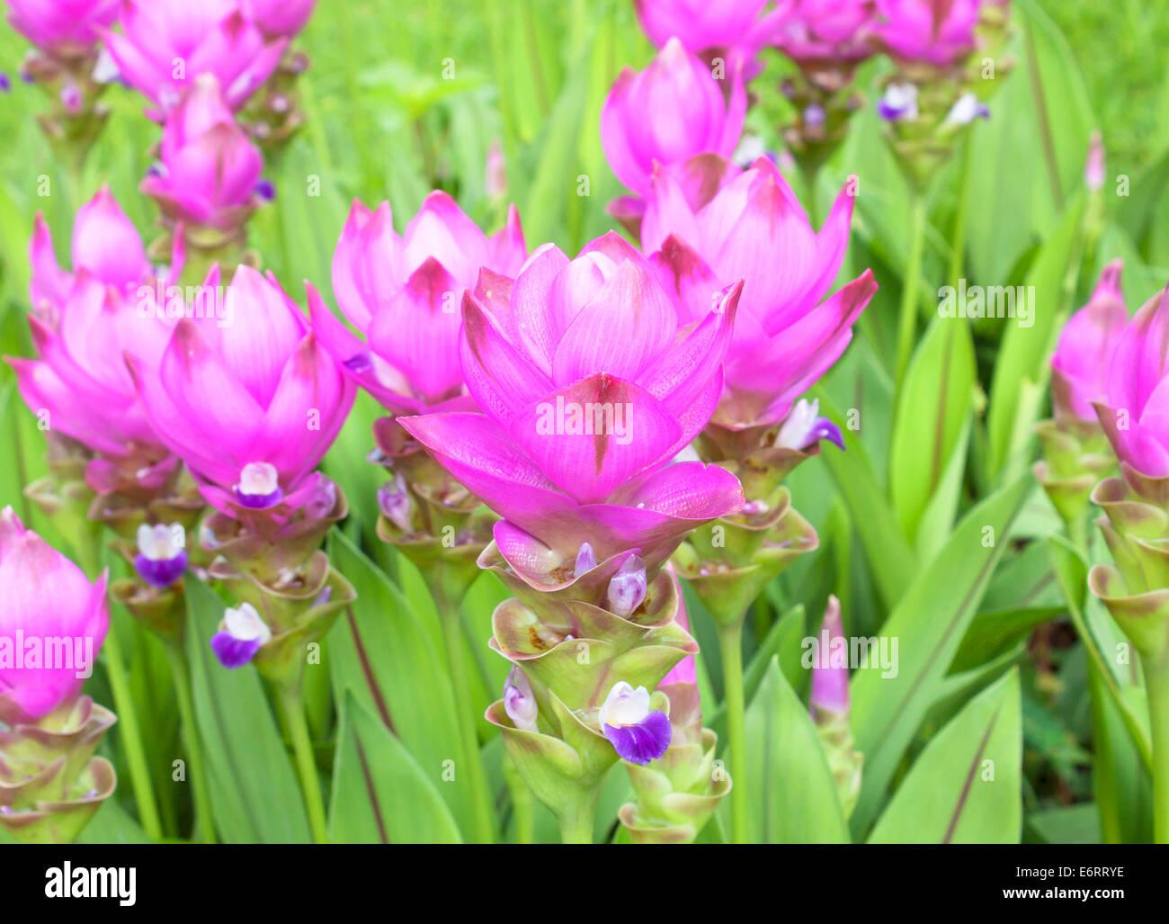 Campo di fioritura curcuma (Curcuma alismatifolia) Immagini Stock