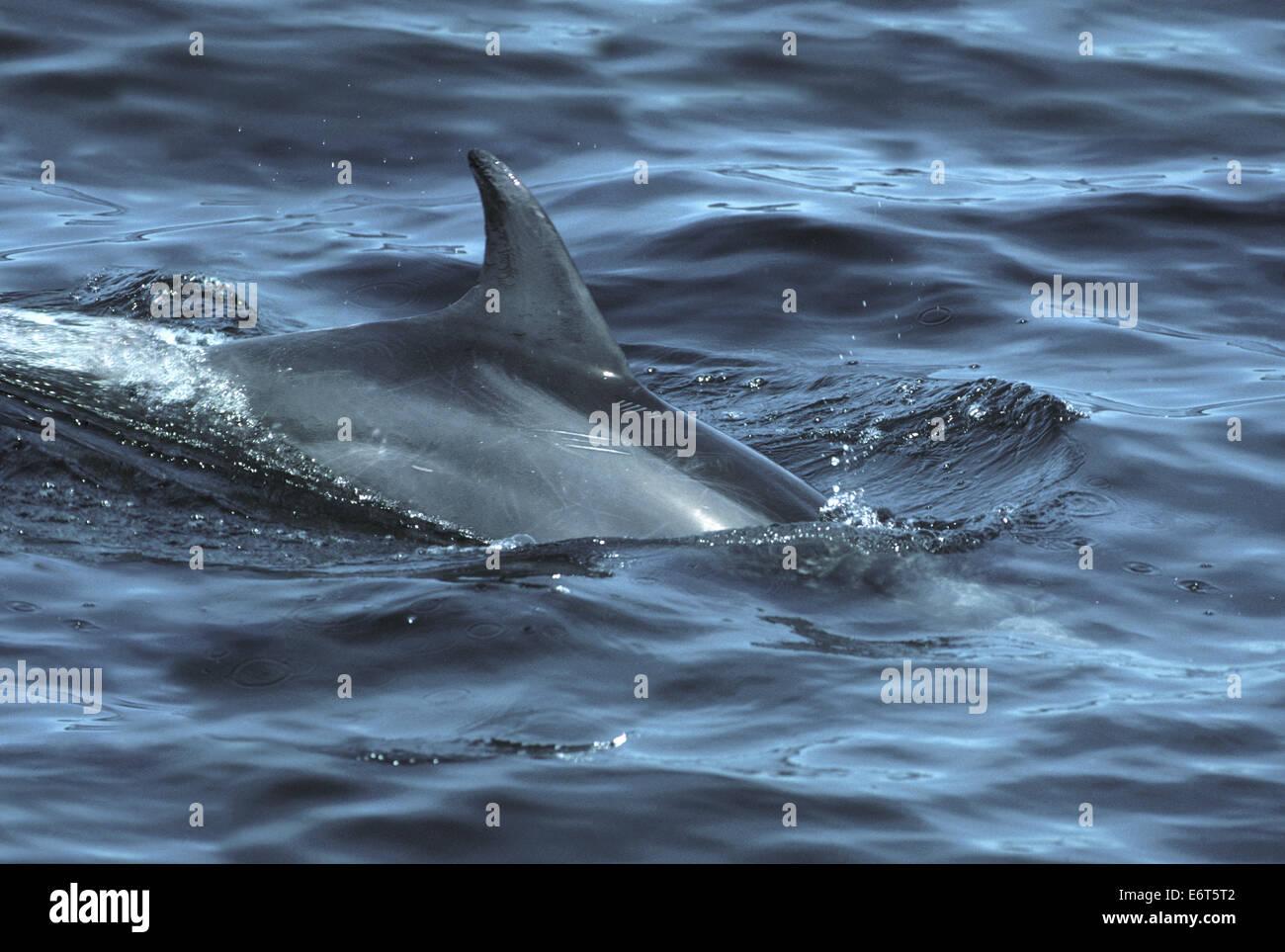 Bottiglia di delfini dal naso - Tursiops truncatus Immagini Stock