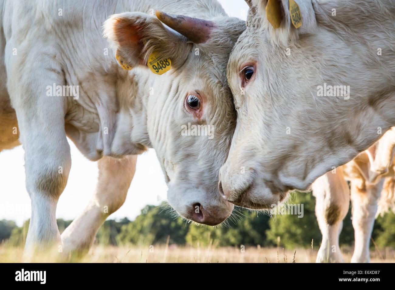 Paesi Bassi, Blaricum, brughiera o brughiera chiamato Tafelbergheide. Charolais bestiame. Giovani tori sfidandosi Immagini Stock
