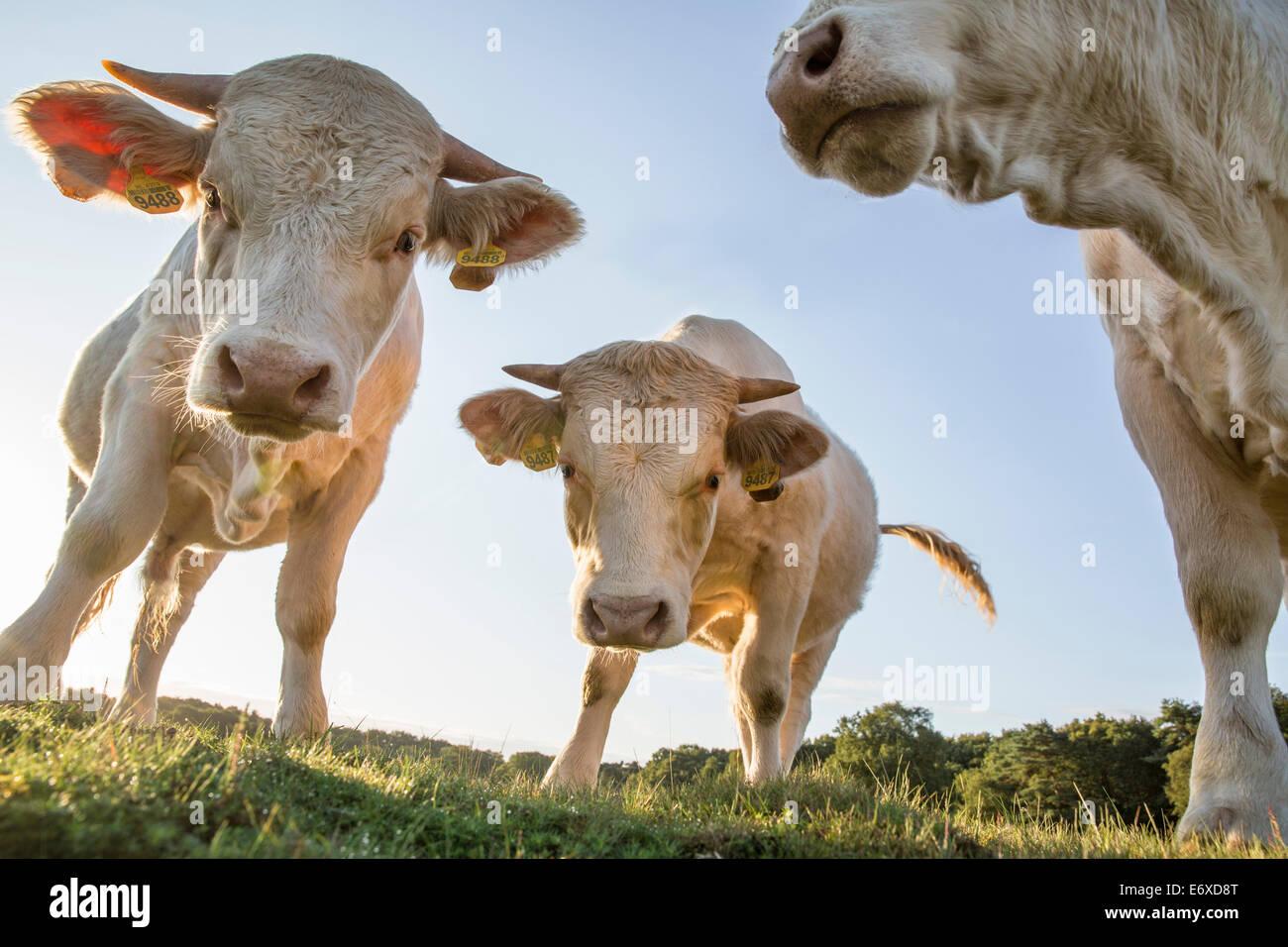 Paesi Bassi, Blaricum, brughiera o brughiera chiamato Tafelbergheide. Charolais bestiame. Giovani tori Immagini Stock