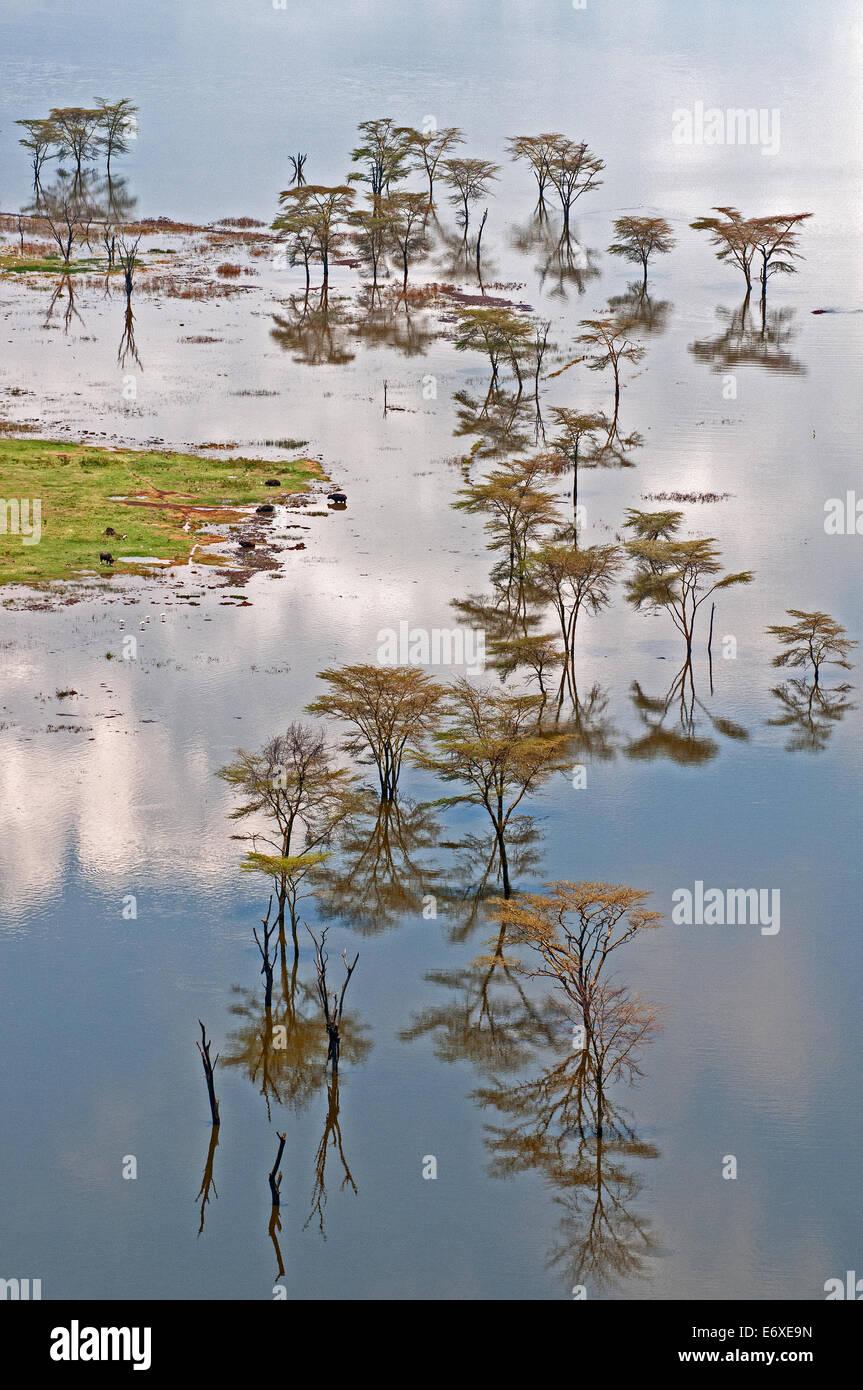 Giallo abbaiato alberi di acacia in piedi in acqua di inondazione con belle riflessioni sul bordo del lago Nakuru Immagini Stock