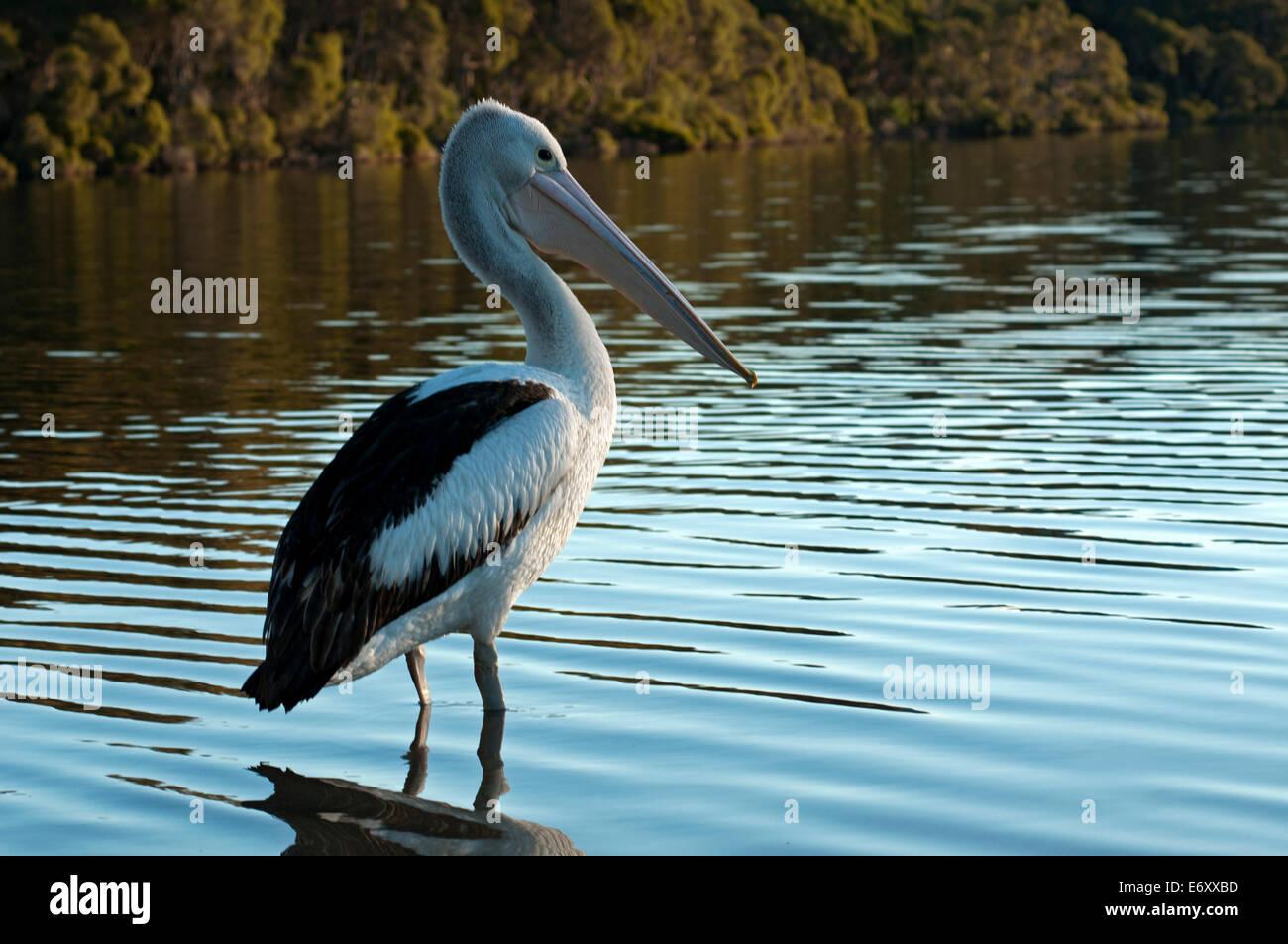 Pelican nel Mallacoota ingresso, Croajingolong National Park, Victoria, Australia Immagini Stock