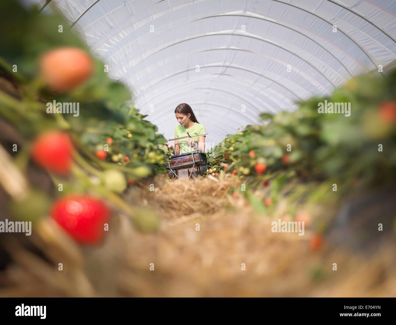 Lavoratore la raccolta di fragole in azienda frutticola Foto Stock