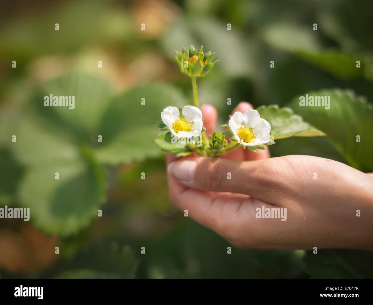Close up di mani di fiori di fragola in azienda frutticola Immagini Stock