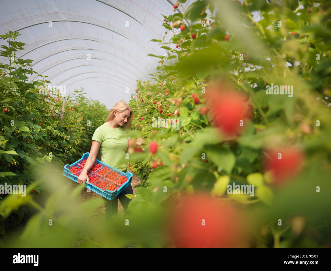 Lavoratore la raccolta dei lamponi in azienda frutticola Immagini Stock