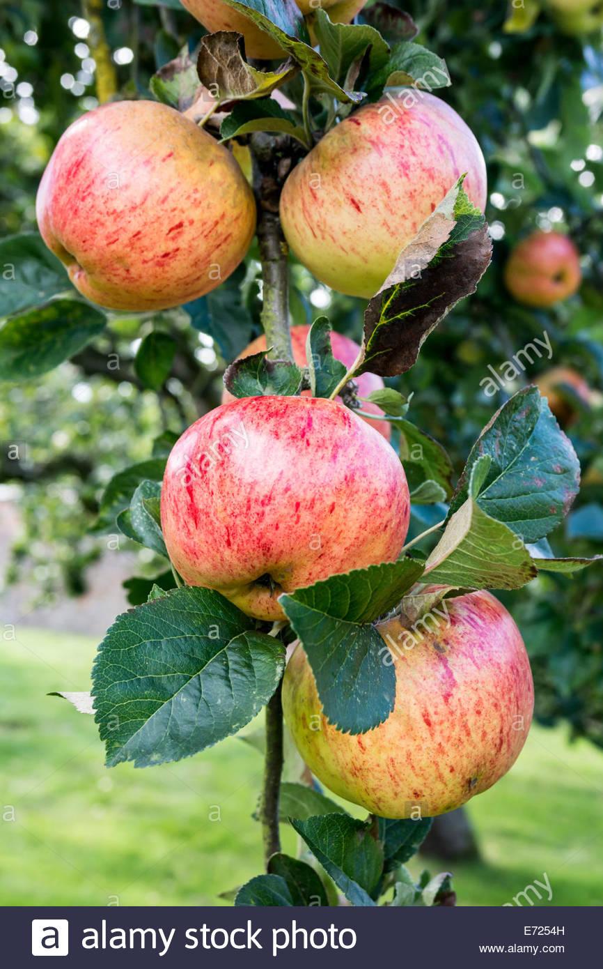 Albero di mele- varietà è rosso Lady Sudeley Immagini Stock