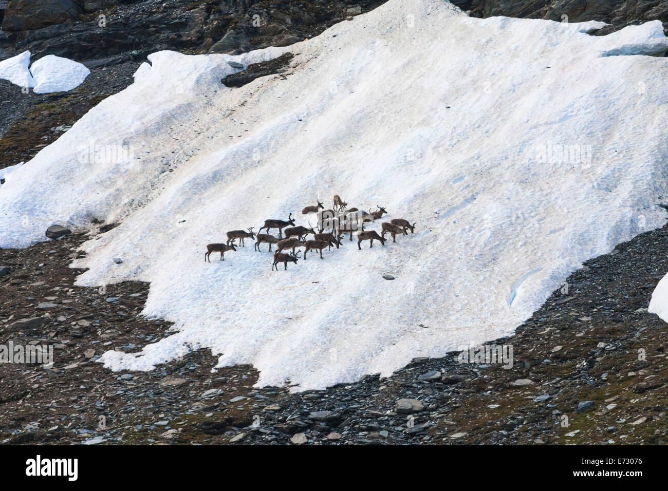 Le renne raccolta su una macchia di neve nel periodo estivo lungo kungsleden in zona di montagna della Lapponia Immagini Stock