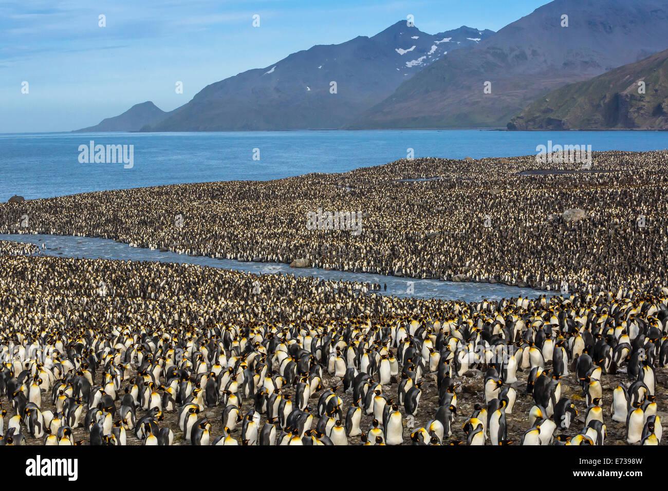 Pinguino reale (Aptenodytes patagonicus) allevamento colonia in st Andrews Bay, Georgia del Sud, Regno Unito protettorato Immagini Stock