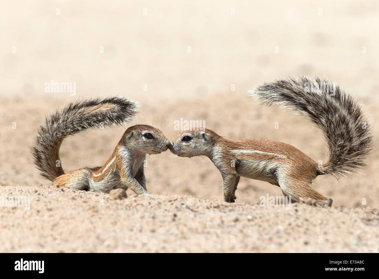 Gli scoiattoli di terra (Xerus inauris) saluto, Kgalagadi Parco transfrontaliero, Northern Cape, Sud Africa e Africa Immagini Stock
