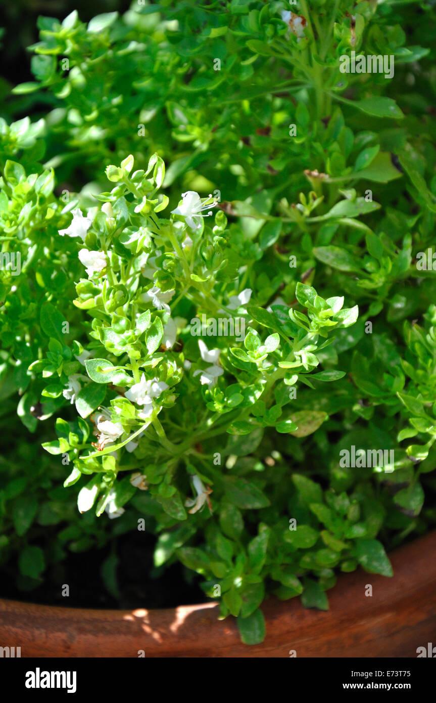 Globo piccante basilico Ocium Basilicum minimo Immagini Stock
