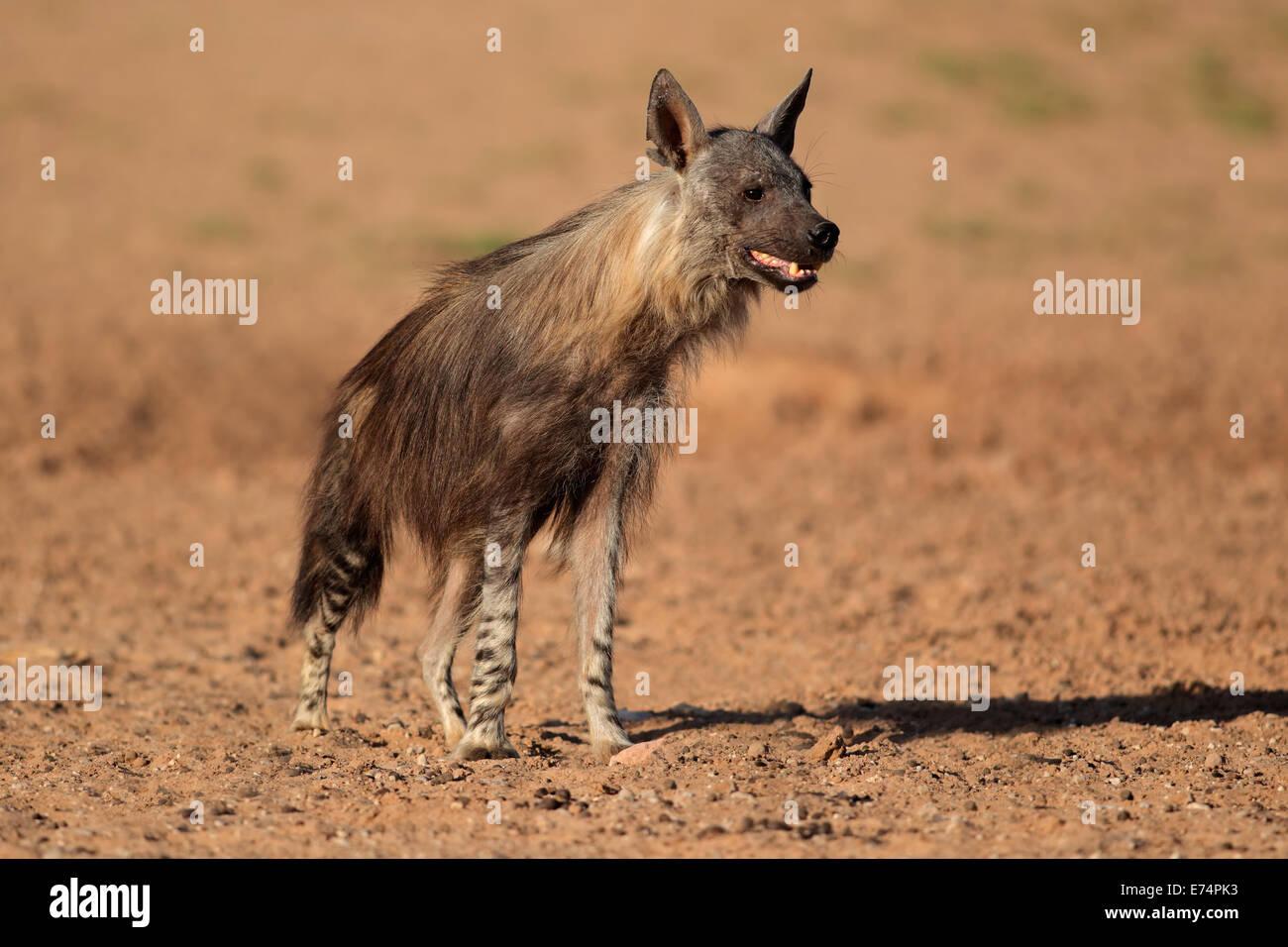 Avviso iena marrone (Hyaena brunnea), Deserto Kalahari, Sud Africa Immagini Stock