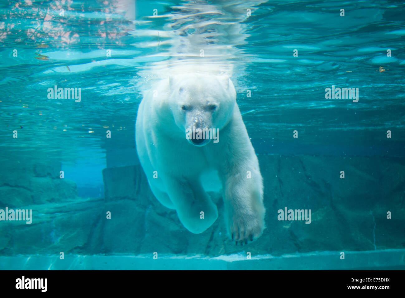Anana, il resident femmina orso polare del Lincoln Park Zoo di Chicago, nuota sott'acqua in un caldo giorno Immagini Stock