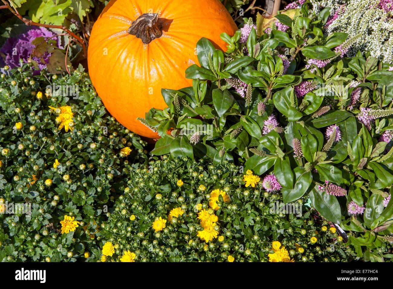Zucche, squash, piante, visualizzazione decorativa Immagini Stock