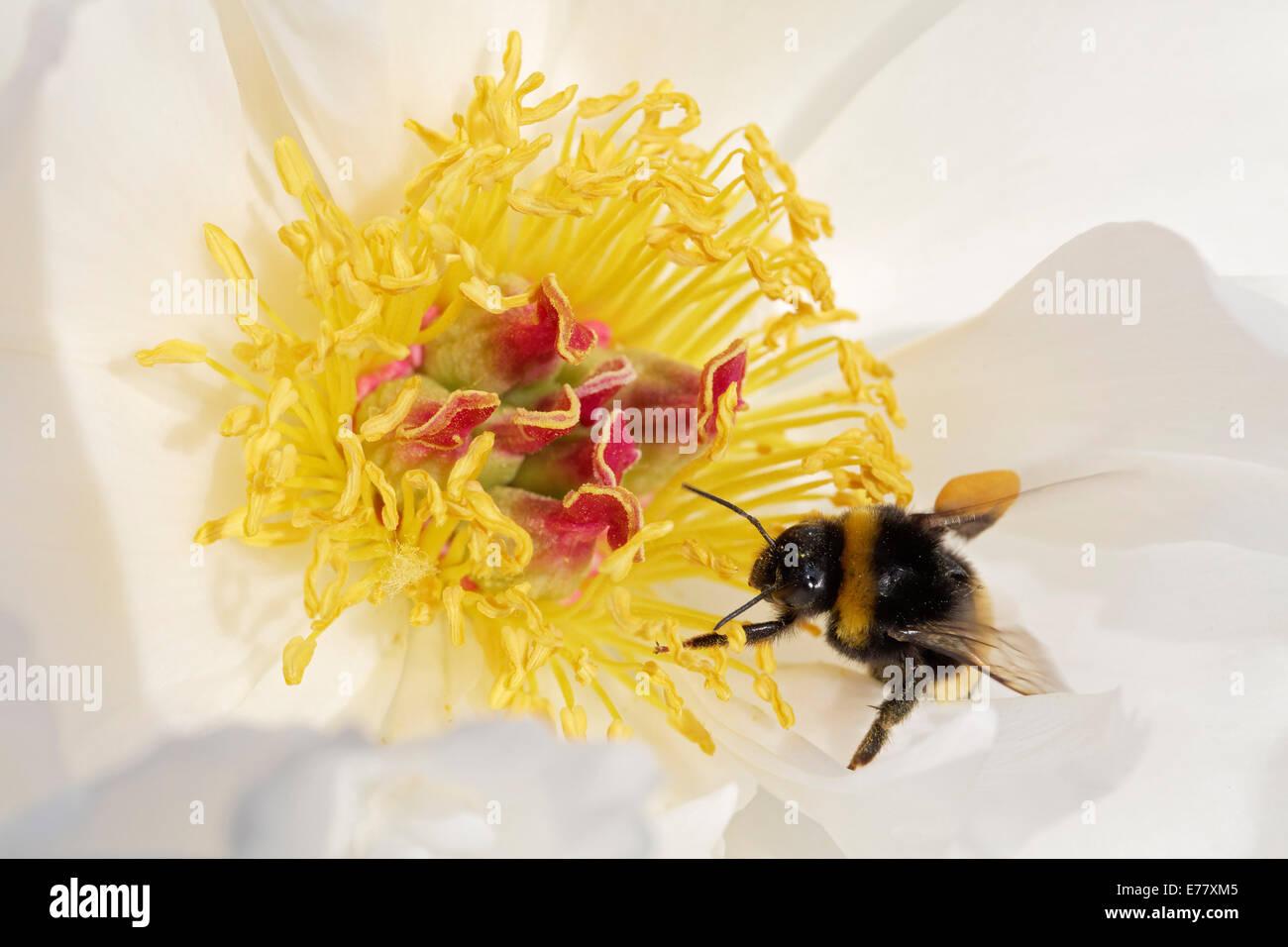 """Bumblebee (Bombus hortorum) con carichi di polline arroccato su un cinese peonia (Paeonia lactiflora), 'ZU ZU"""" Immagini Stock"""