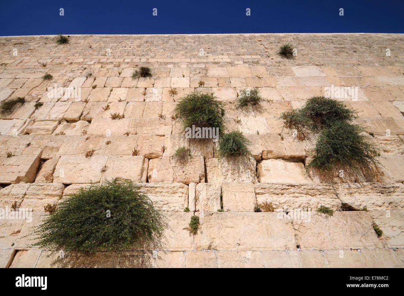 Capperi crescente sul muro del pianto, Gerusalemme, Israele Immagini Stock