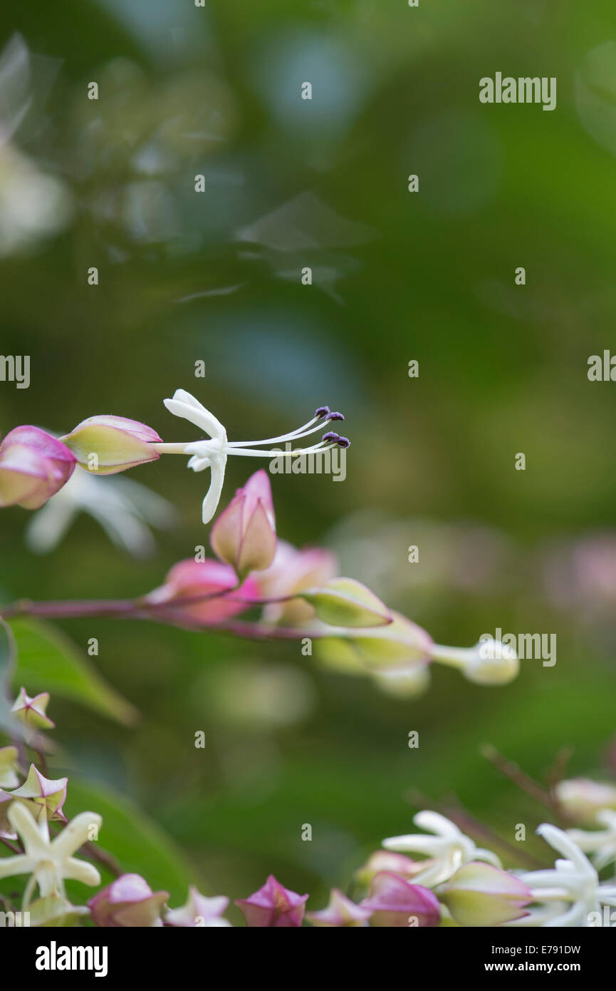 Hardy arbusto glorybower Clerodendrum TRICHOTOMUM fioritura estiva vistosi e frutta