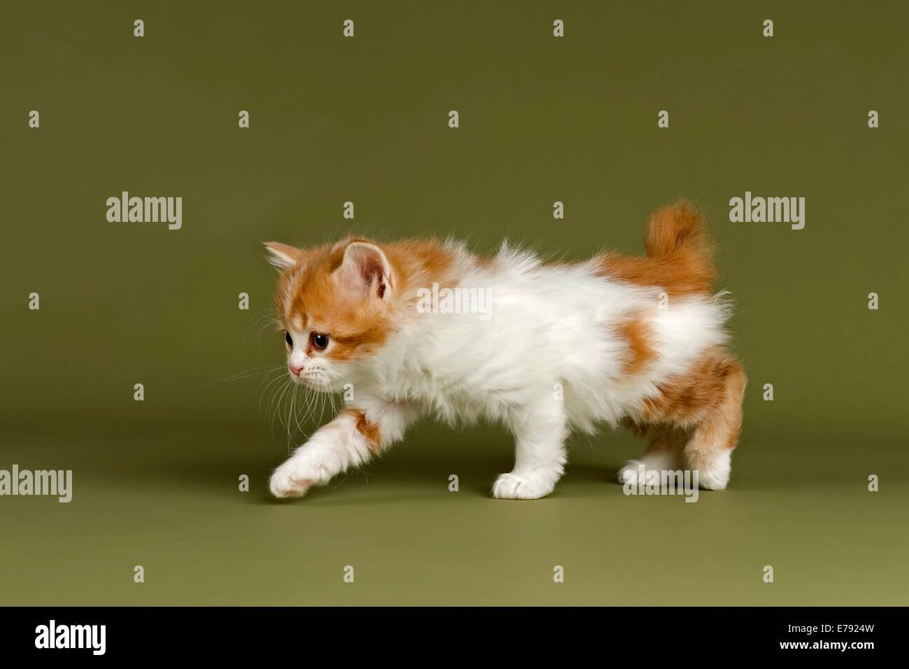 Manx-Cymric gattino, 5 settimane, rosso e bianco, tozza, con geneticamente causato corto moncone di coda Immagini Stock