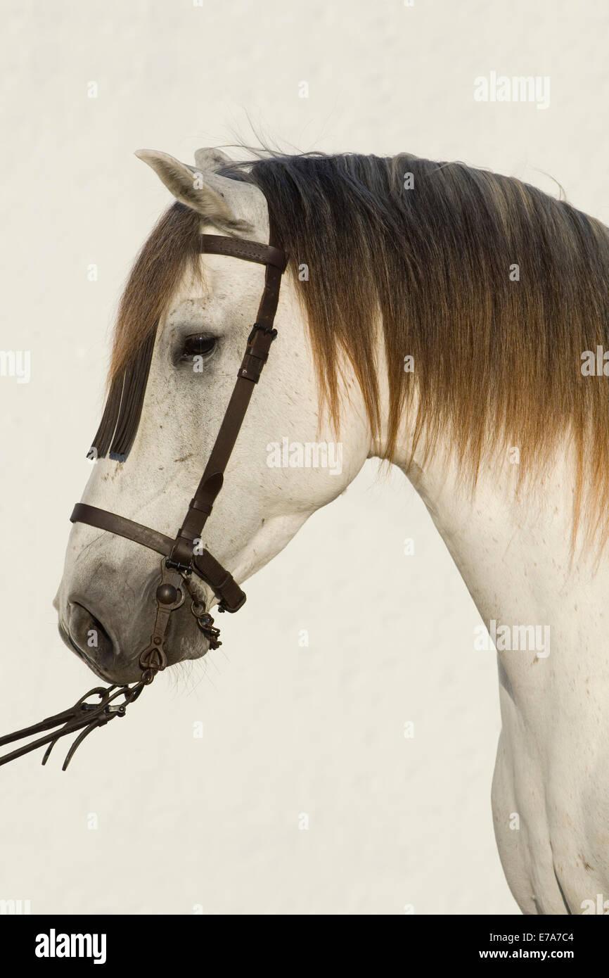 Cavallo lusitano, White Horse, Vaquero briglia, Andalusia, Spagna Immagini Stock