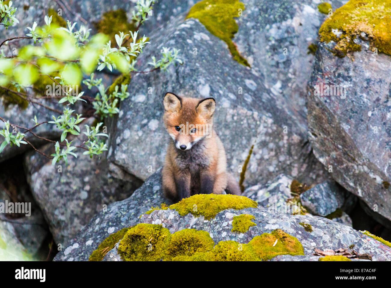Redfox cucciolo, Vulpes vulpes, guardando fuori dal suo nido, Kvikkjokk, Lapponia svedese, Svezia Immagini Stock