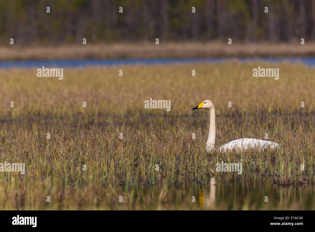 Whooper swan, Cygnus cygnus, giacente in appoggio in erba in una palude Immagini Stock