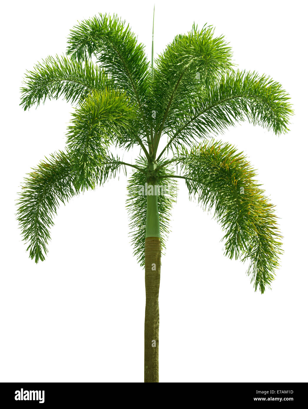 Wodyetia (coda di volpe Palm). Palm tree isolati su sfondo bianco Immagini Stock