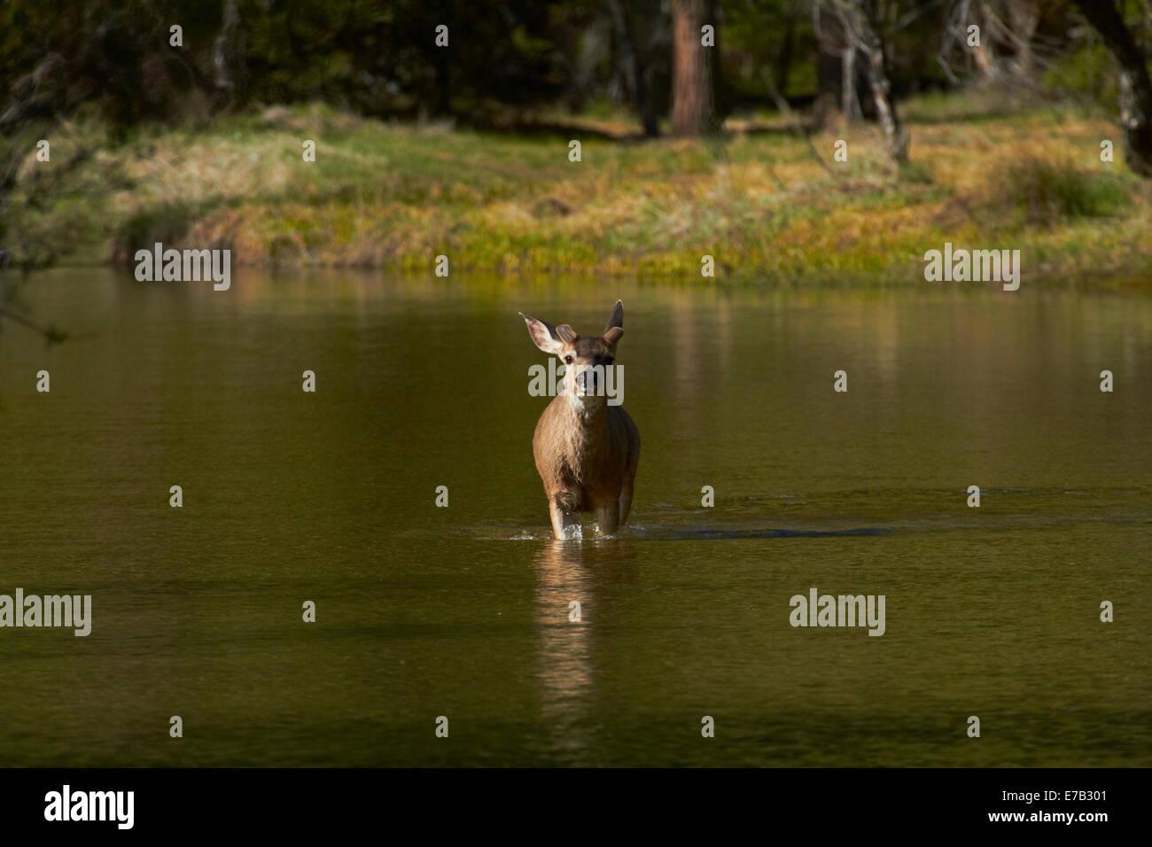 Mule Deer (Odocoileus hemionus) dallo specchio sul Lago Tenaya Canyon, il Parco Nazionale di Yosemite in California, Immagini Stock