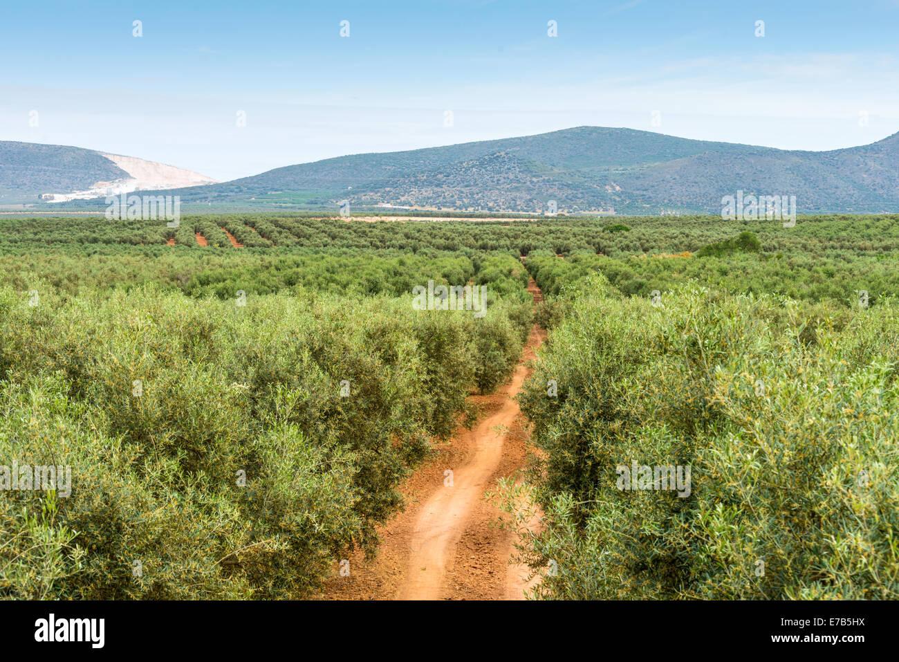 Vista panoramica su ulivi e alberi da frutto piantati in righe. Spagna. Immagini Stock