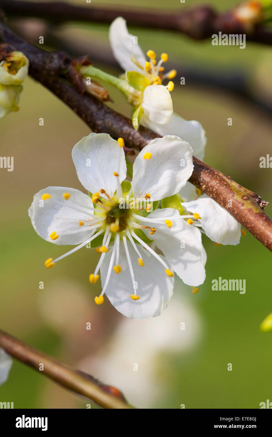 Prunus domestica 'Oullins Gage' Immagini Stock
