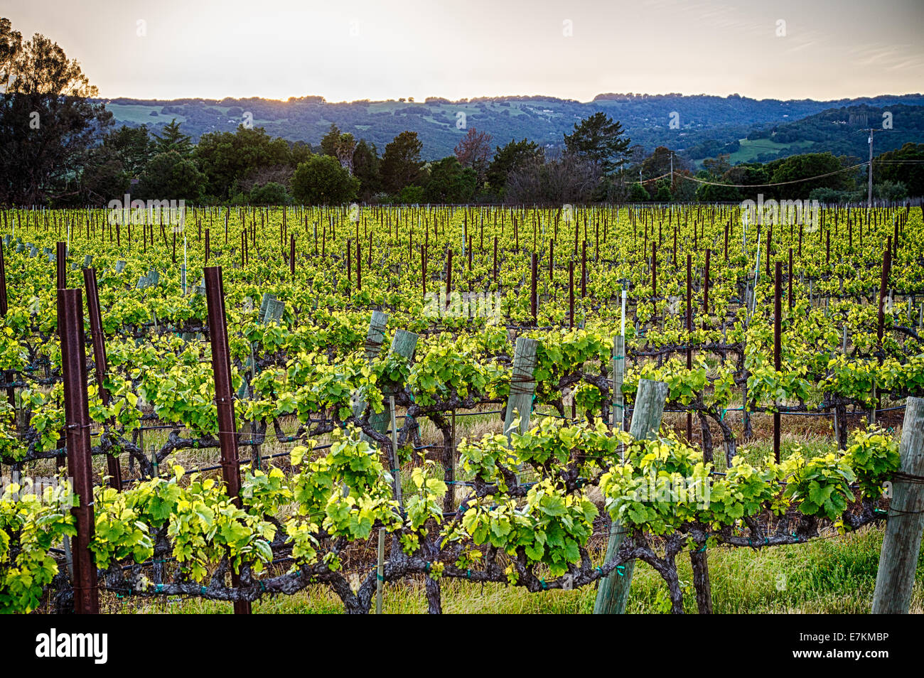 Tramonto sui vigneti della California Wine Country. Sonoma County, California Foto Stock