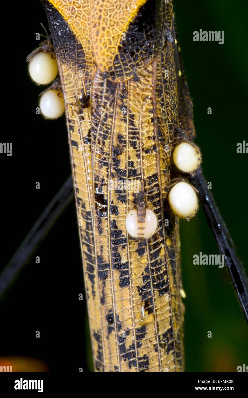 Stick amazzonica insetto (Pseudophasma bispinosa) con annesso dipteran ectoparassiti. Immagini Stock