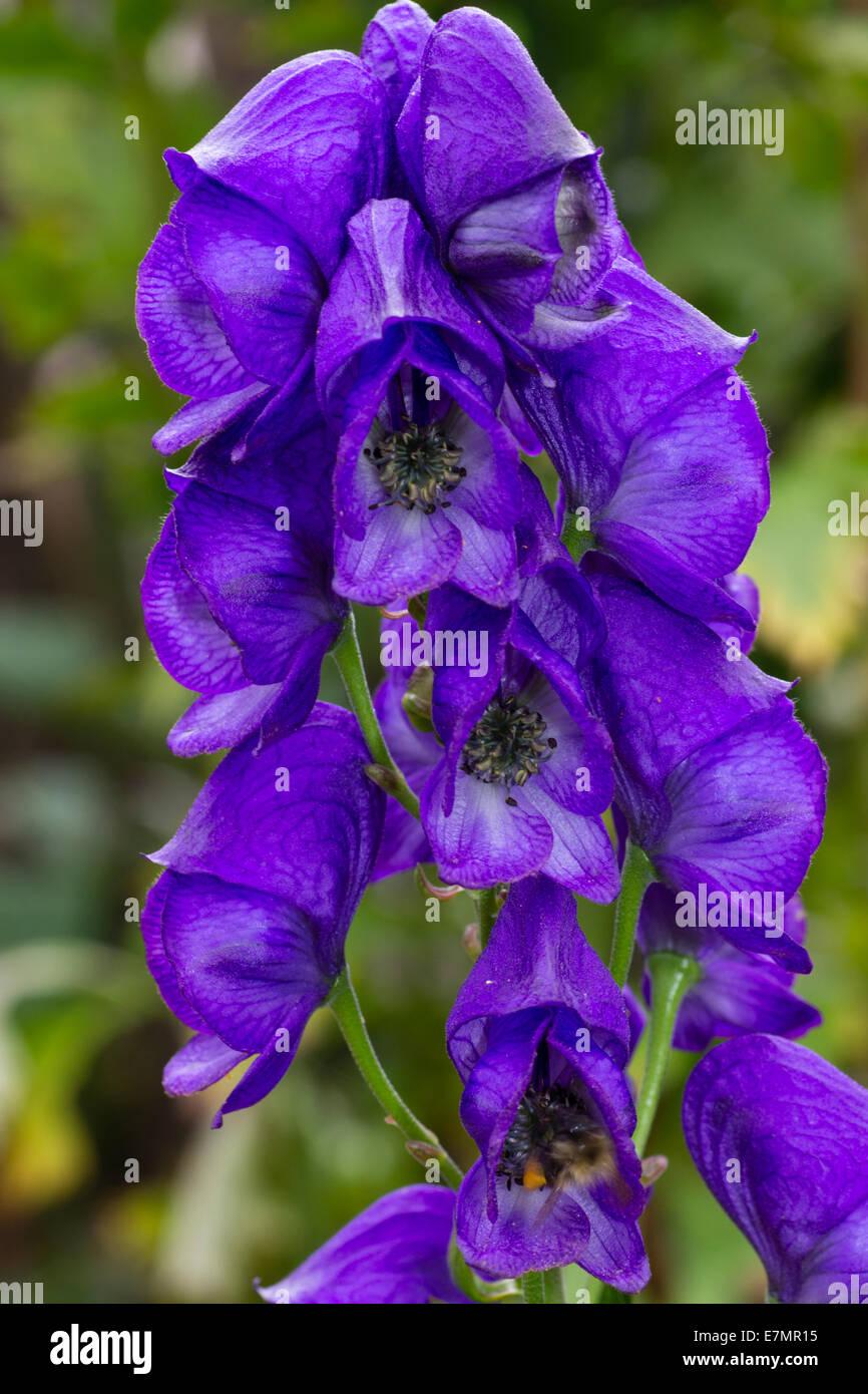 Autunno aconito-Aconitum carmichaelii