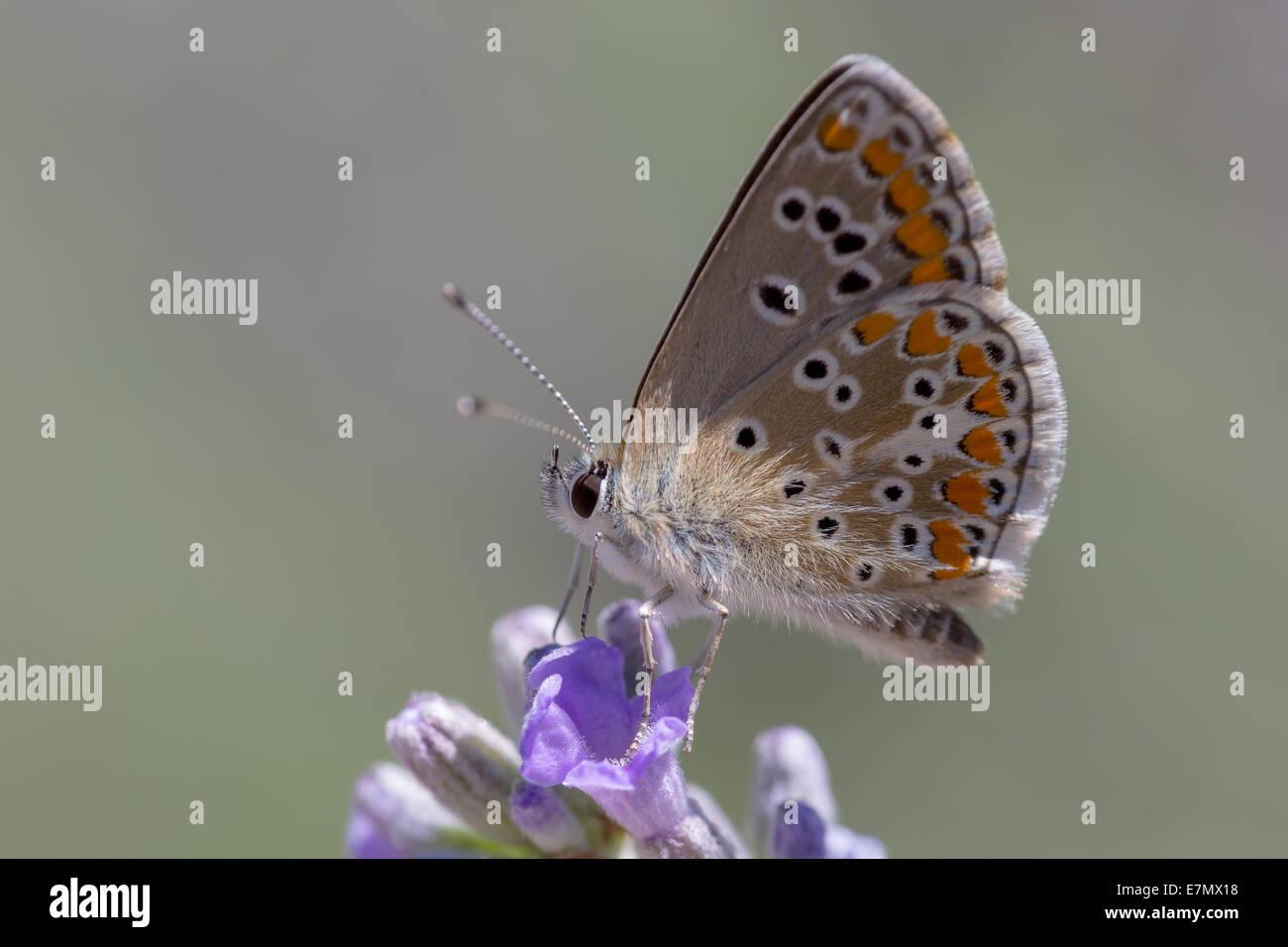 Brown Argos butterfly (Aricia agestis) nectaring in inizio di mattina di sole sulla lavanda vicino Najac nell'Aveyron Immagini Stock