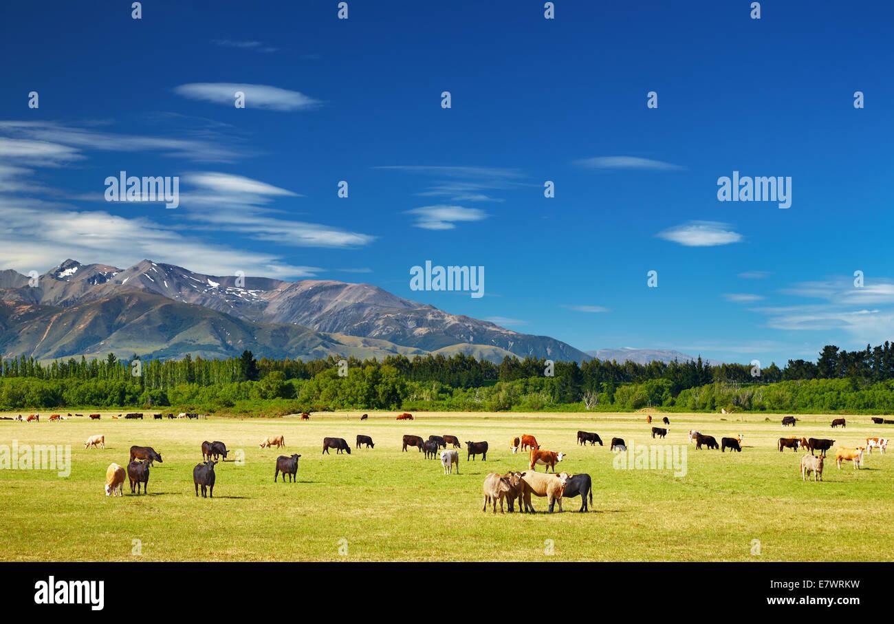 Nuova Zelanda paesaggio con terreni coltivati e mucche al pascolo Immagini Stock