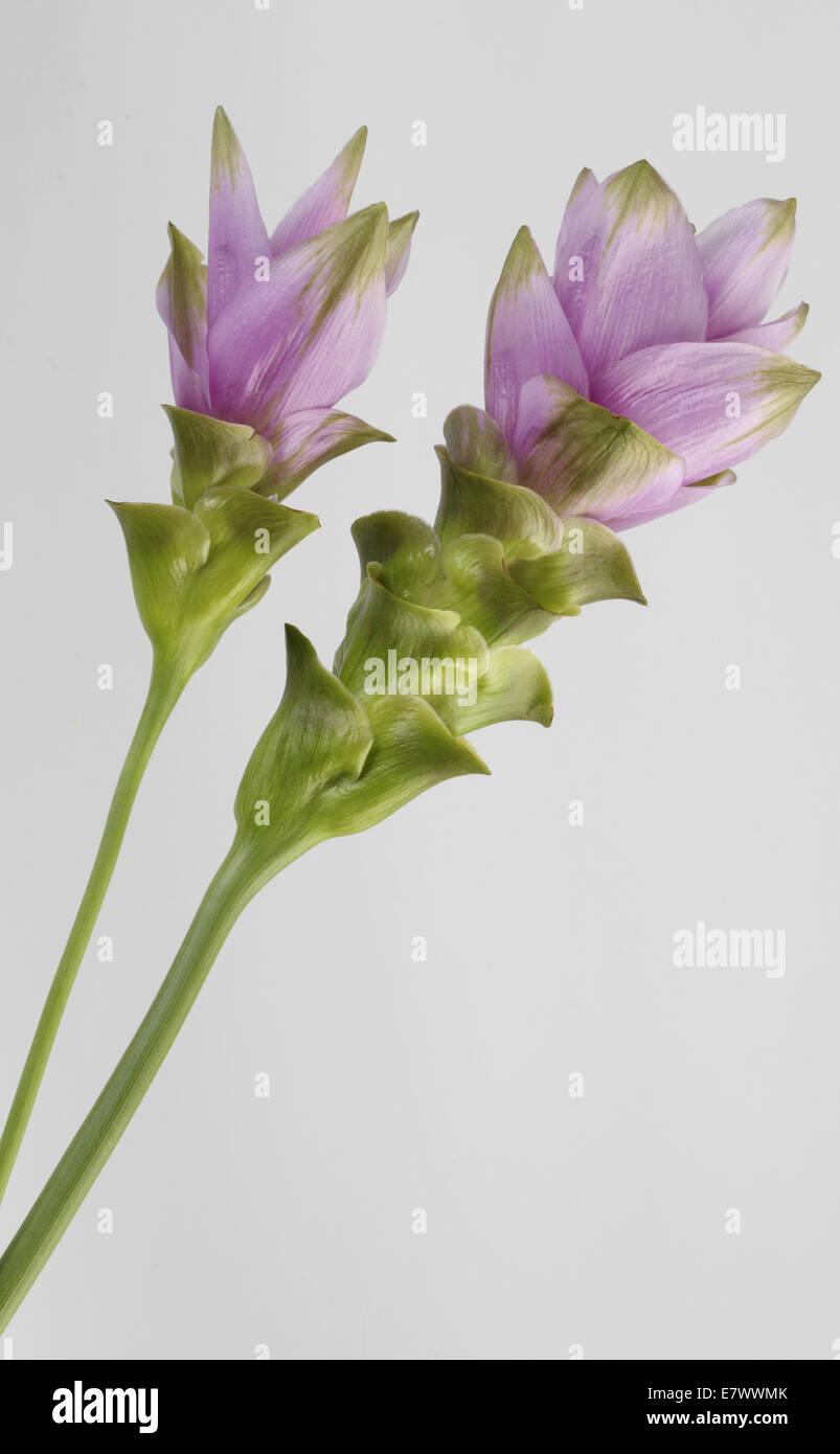 Fiore di curcuma Immagini Stock