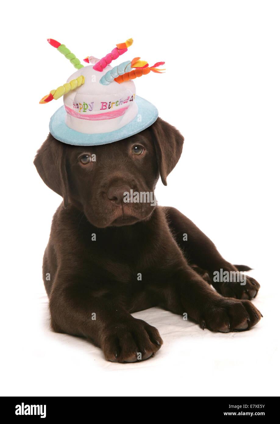 Buon Compleanno Labrador Retriever Cucciolo Di Cane Foto Immagine