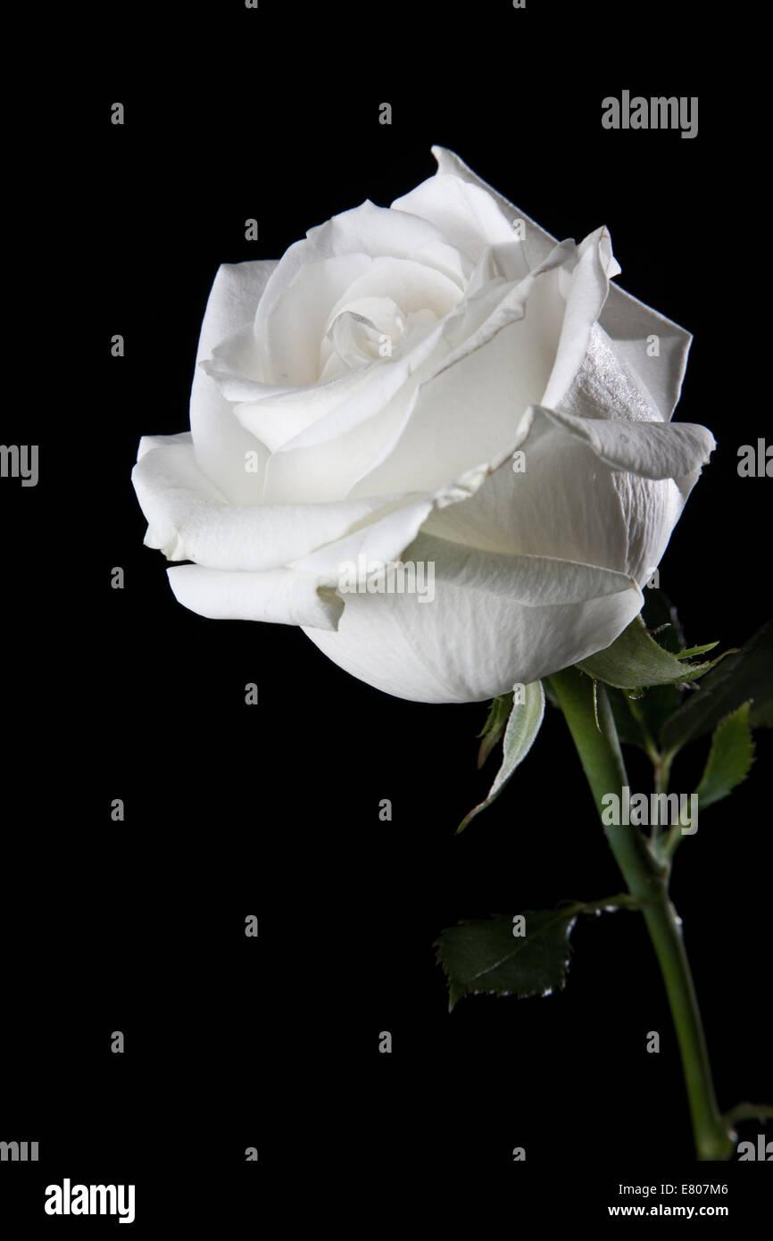 Primo Piano Di Una Rosa Bianca Isolato In Uno Sfondo Bianco Foto