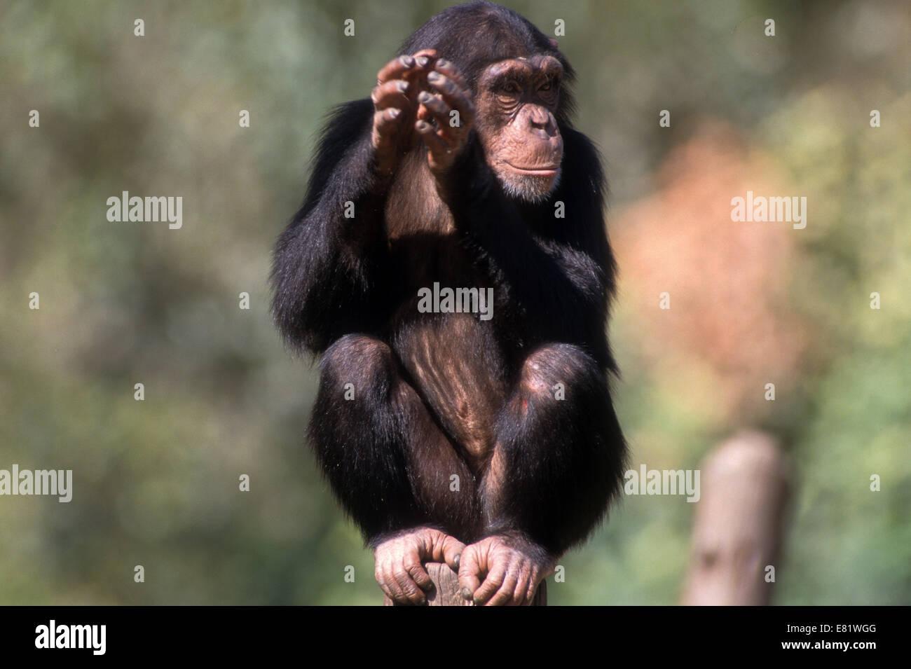 Closeup ritratto di uno scimpanzé (Pan troglodytes) in cattività in uno zoo Immagini Stock